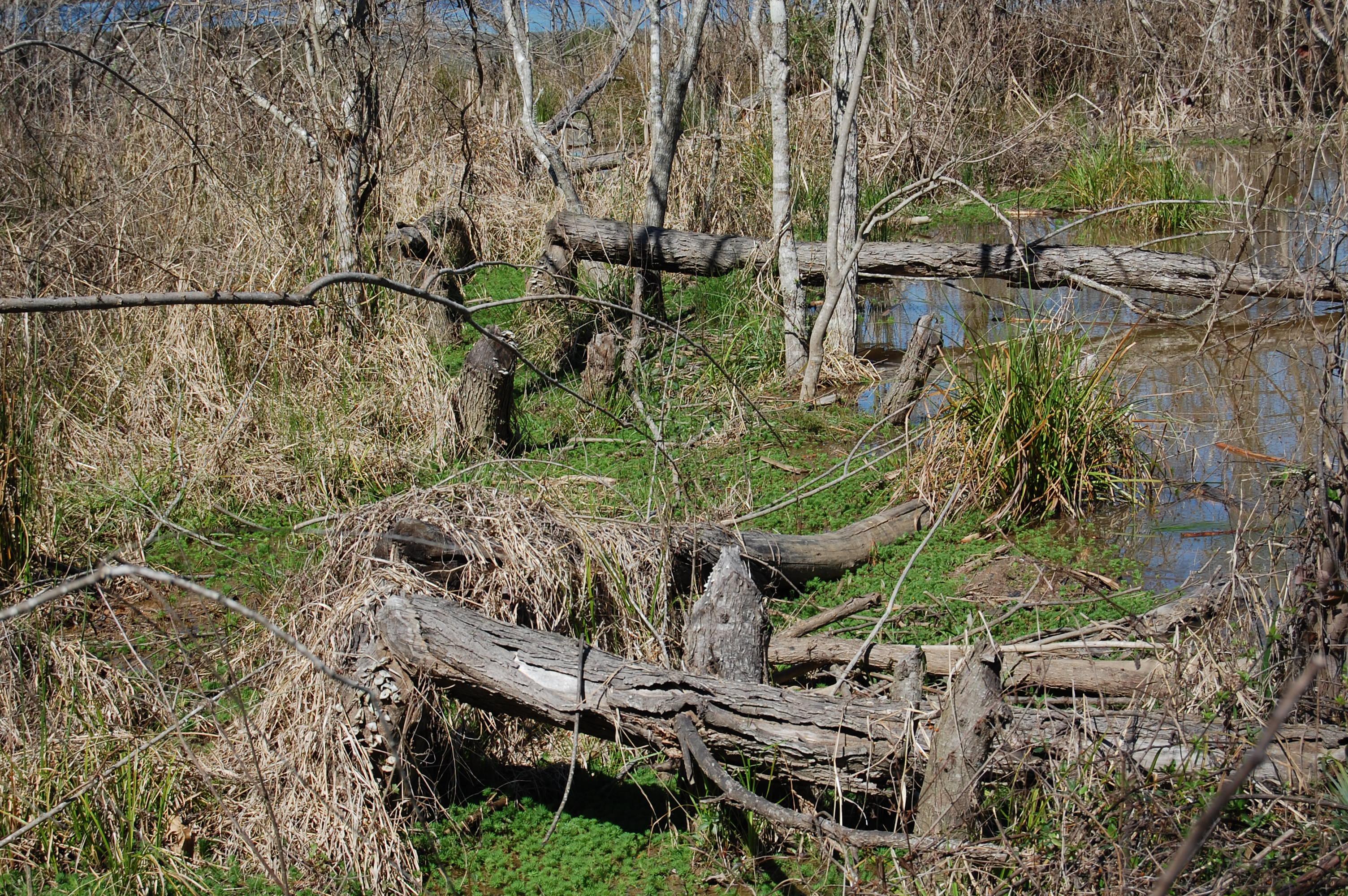 Beaver damage by lake