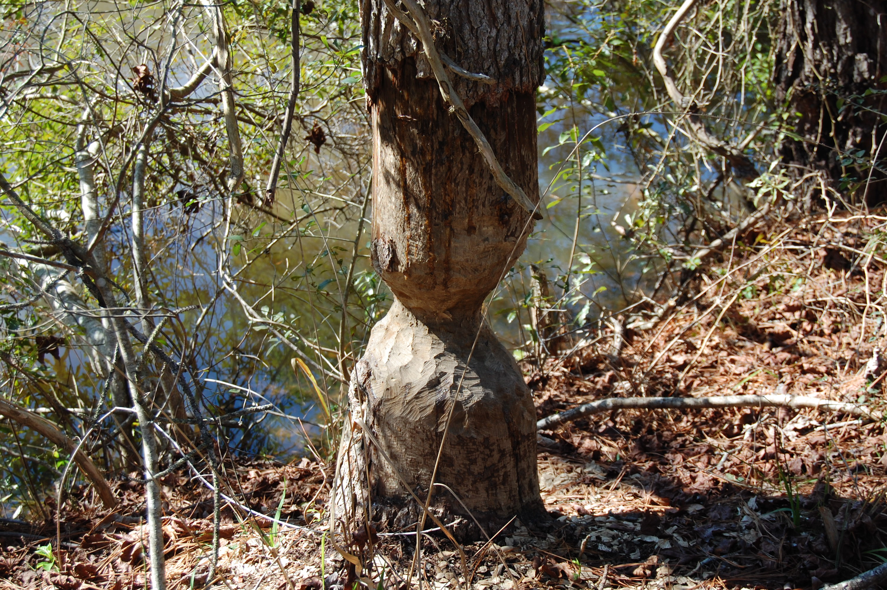 Tree partly eaten by beavers by pond