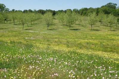 Pecan orchard with wild flowers