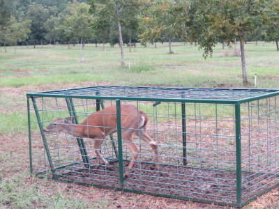 deer in hog trap