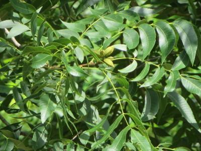 Pecans on Trees