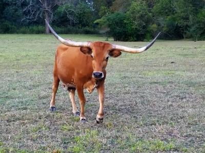 longhorn-cow